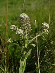 Smith´s Cress (Lepidium heterophyllum)